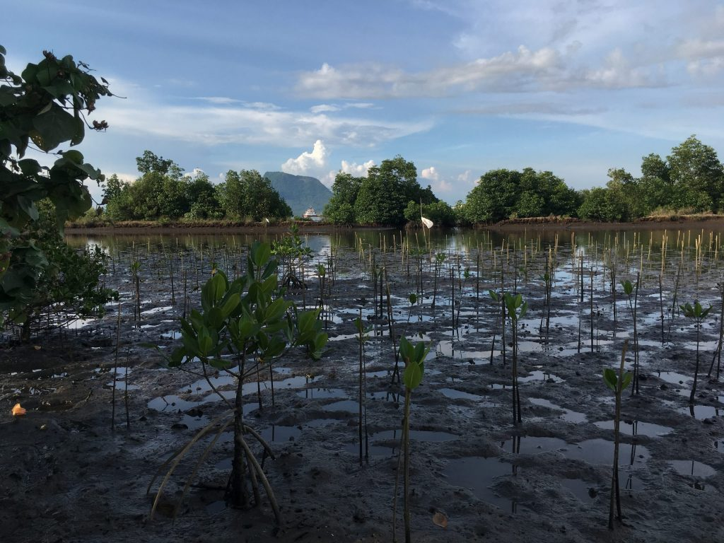 Replanted mangroves in the Philippines